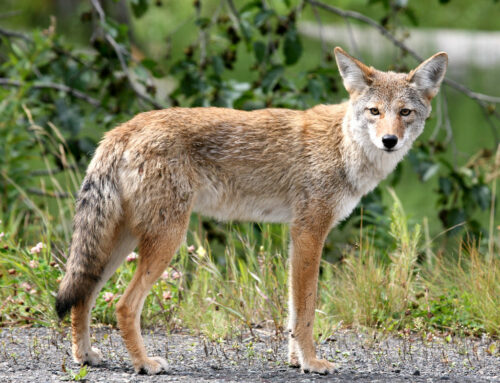 Living with Wildlife: Foxes and Coyotes